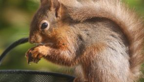 A red squirrel dining on a hazelnut in the gardens on Hazel Bank Hotel in Borrowdale