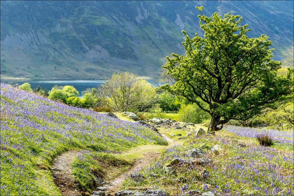 Landscape awash with bluebells, with trees, lake and fell in the background.